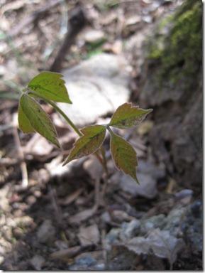 Narrow Leaf Poison Ivy