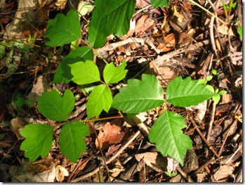 Jagged Edged Poison Ivy