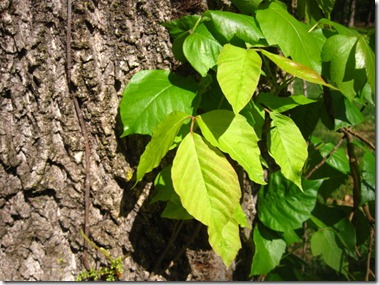 Wide Leaf Poison Ivy