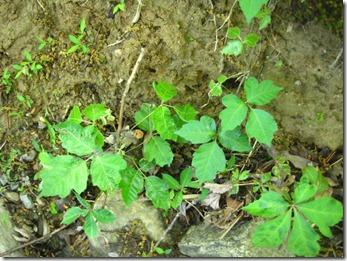 Greenish Poison Ivy