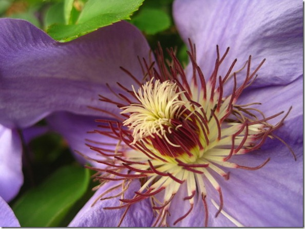 Clematis from the Side