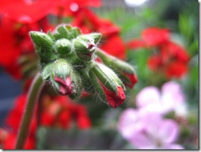 Geranium about to Blossom