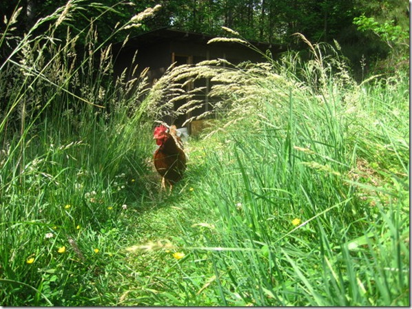 Chicken in a Grass Tunnel