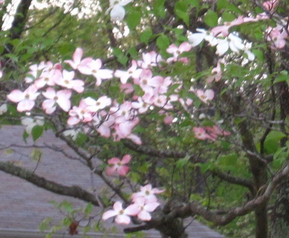 How can dogwoods flower pink and white on the same tree growing branch with pink blossoms mightylinksfo
